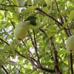 カリンの果実の様子