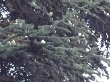 花(幼果)を付けているヒマラヤスギ パリ