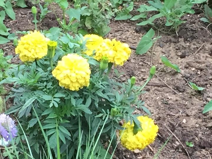 黄色い花のマリゴールド パリにて