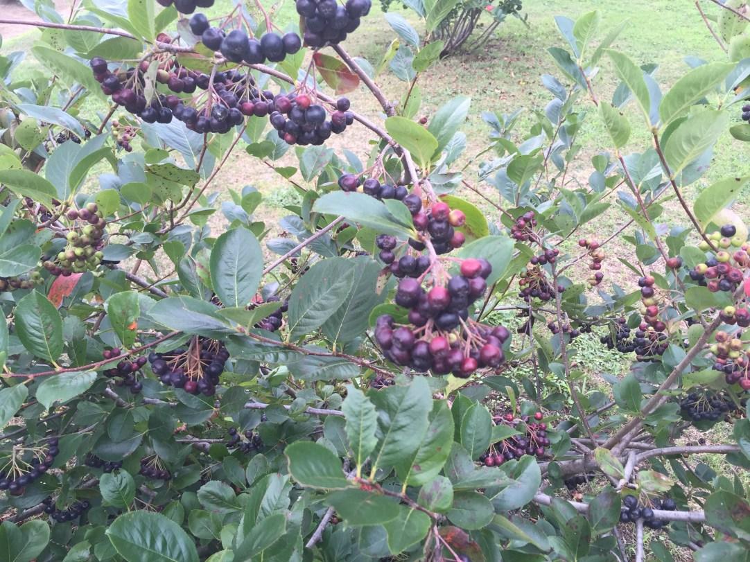 Black chokeberry/ アロニア