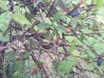 Lonicera caerulea/ ハスカップ