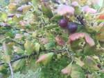 Gooseberry/ セイヨウスグリ