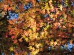 黄色から赤色の色づいたカエデの紅葉