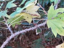 prickly castor oil tree/ ハリギリ