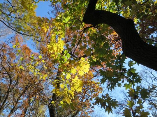 黄色く紅葉したハリギリの葉