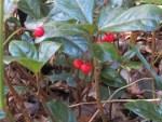 Ardisia japonica/ ヤブコウジ