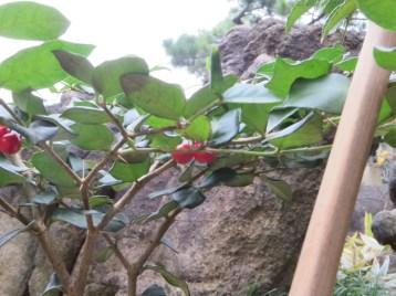 アリドオシの木の様子