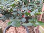 Indian Damnacanthus/ アリドオシ