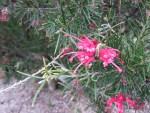 Grevillea alpina/ グレビレア アルピナ