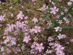 カスミソウ 花のアップ