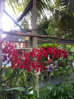 グラマトフィラム? 珍しい朱色の花