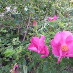 ハマナスの花