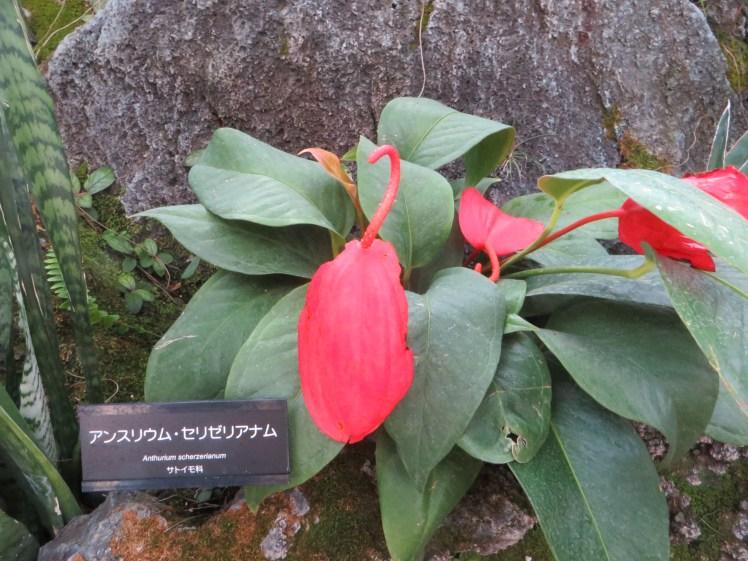 Anthurium scherzerianum /アンスリウム・セリゼリアナム