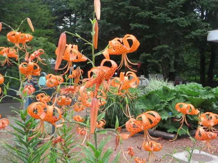 オニユリの花の姿