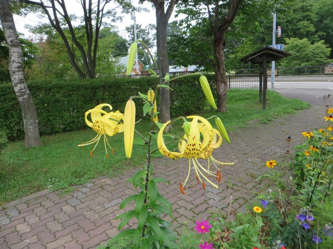 黄色花のオニユリ
