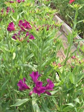 アルストロメリアの花(紫色)