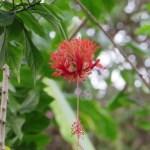 フウリンブッソウゲの花