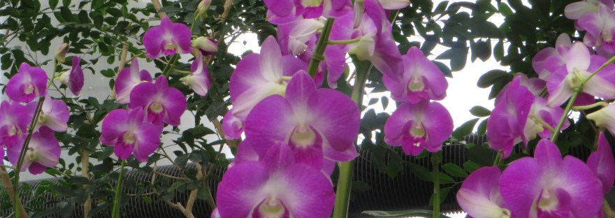 Cooktown Orchid /デンファレ