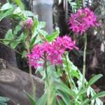 エピデンドラム 花の姿