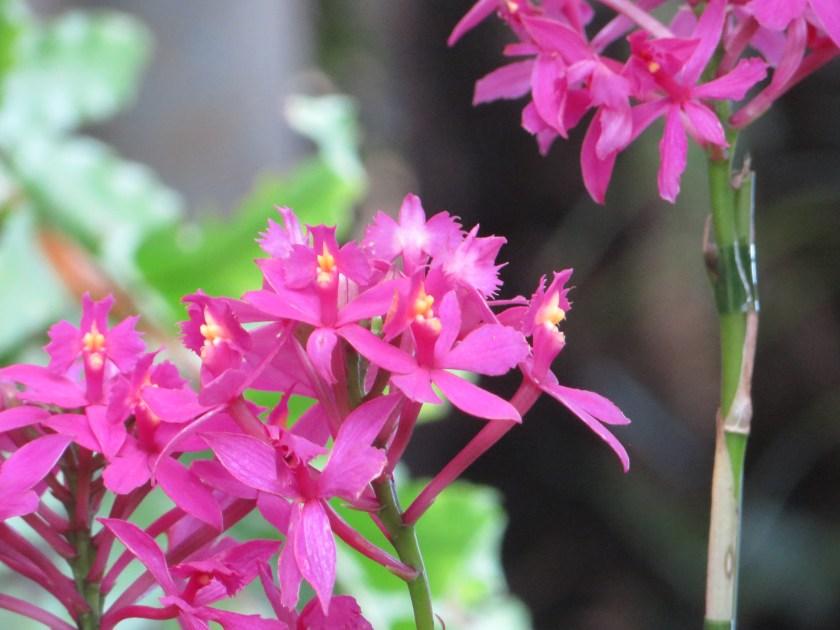 Epidendrum/ エピデンドラム