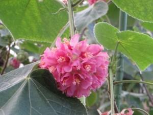 ドンベア・ウォリキー花のアップ