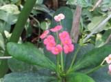 ハナキリンの花 ピンクと白色系