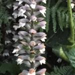 ハアザミ 花のアップ