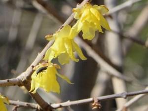 ソシンロウバイの花 アップ