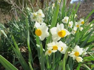 ニホンスイセンの花