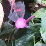Anthurium tulip purple 紫色の珍しいアンスリウム