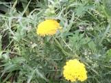 キバナノコギリソウ 花の姿