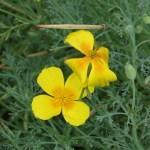 ハナビシソウ 花のアップ
