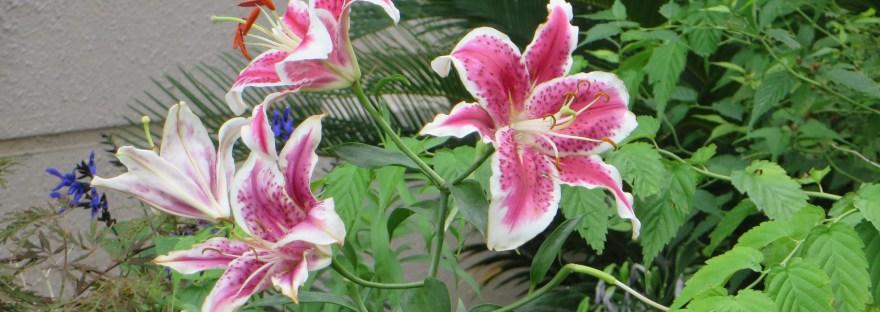 Showy lily/ カノコユリ