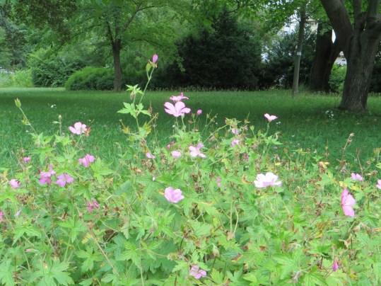 ゲラニウム・エンドレッシー 花と植物の姿