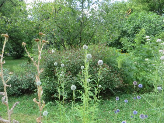 ロシアタマアザミ 花の姿