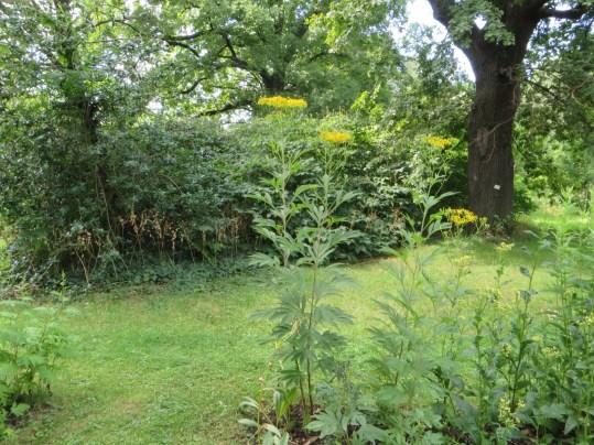 セネシオドリア 植物の全景