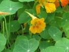 ややオレンジ色が混じった黄色のキンレンカ