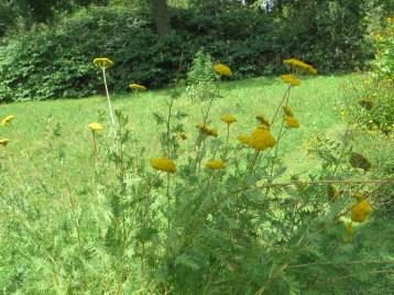 キバナノコギリソウ 花と草の姿