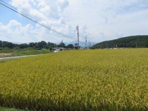 イネ 水田の風景
