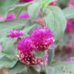 センニチコウ 花のアップ