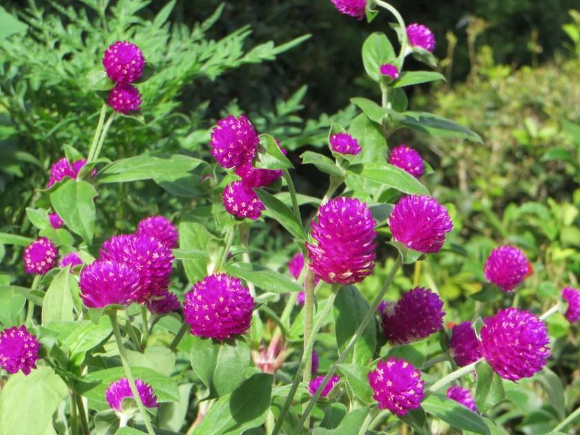 Globe amaranth / センニチコウ