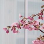カワヅザクラ 咲き始め