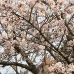 タマナワザクラ 見ごろの枝ぶり
