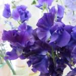 濃い紫のスィートピー