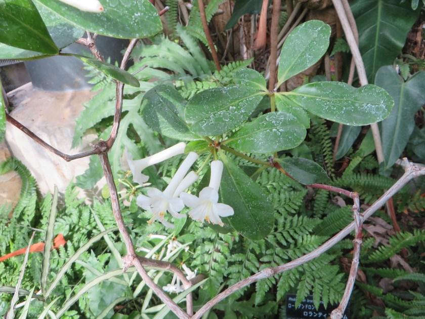 Rhododendron loranthiflorum/ ロードデンドロン・ロランティフロルム