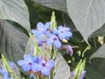 Blue sage/ ルリハナガサ