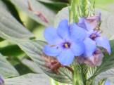 ルリハナガサ 花のアップ