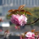 カンザンの花 咲き始め