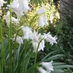白花のツリガネズイセン  スパニッシュ・ブルーベル
