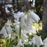 白花のツリガネズイセン スパニッシュ・ブルーベル アップ